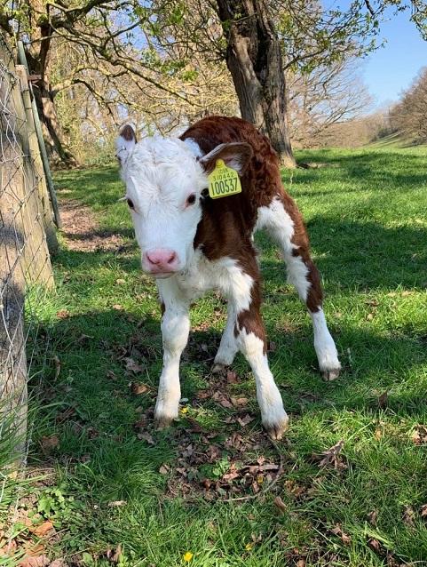 berriman eaton - calf